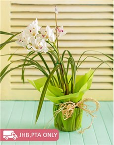 gifts: Cymbidium Orchid Wrapped!