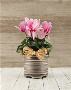 plants: Cyclamen in a Pot!