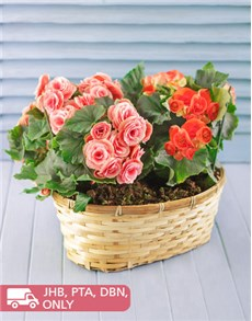 flowers: Begonia Plants in Woven Basket!