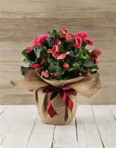 gifts: Begonia Plant in Hessian Wrapping!