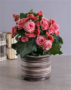 gifts: Begonia Plant in  Ceramic Pot !
