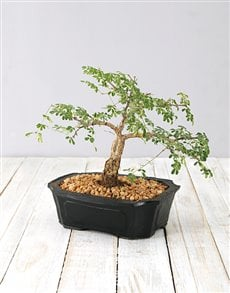 plants: Small 4 Year Old Bonsai!