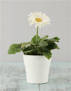 plants: White Mini Gerbera in a White pot!