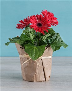 plants: Mini Gerberas in Wrapping!