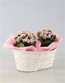 gifts: Double Kalanchoe Basket!