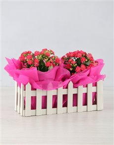 flowers: Double Kalanchoe Picket Fence!