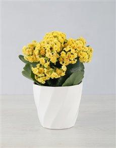 plants: Kalanchoe In Planter Pot!