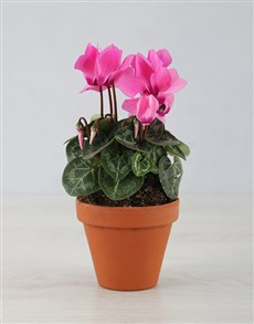 plants: Mini Cyclamen in a Pot!