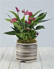 plants: Anthurium Plant in Pot!