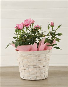 plants: Pink Rose Bush in Planter!
