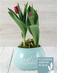 flowers: Red Tulip Plant in Hello Pot!