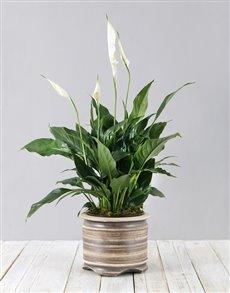 plants: Spathiphyllum Pot Plant!