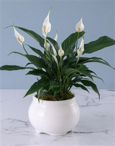 plants: Spathiphyllum in White Pot!