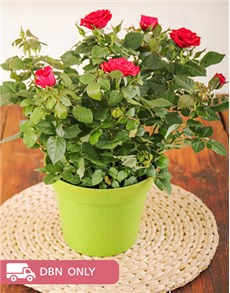 plants: 14cm Rose Bush in a Planter!