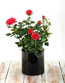plants: Rose Bush in a Black Cylinder Vase!