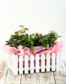 plants: Pink Rose Bush in Picket Fence!