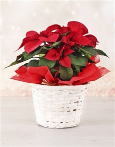 plants: Poinsettia Planter!