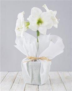 flowers: White Amaryllis Plant!