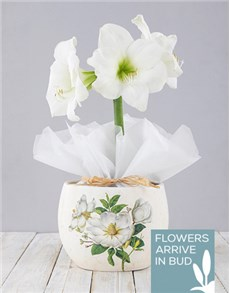 plants: White Amaryllis in Ceramic Flower Pot!
