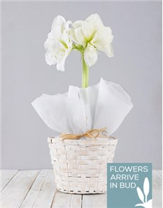 flowers: White Amaryllis Basket!