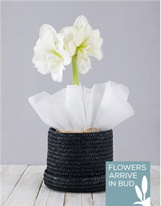 plants: White Amaryllis in Woven Hat Box!