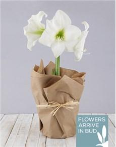 plants: White Amaryllis in Craft Paper!