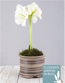 plants: White Amaryllis Pot!
