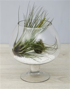 flowers: Melanocrater Air Plant in White Stone Pedestal Vas!