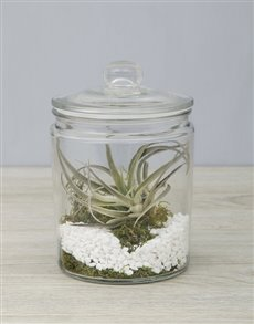 flowers: Himnorum Air Plant in Glass Jar!