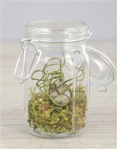 flowers: Bulbosa Air Plant in Glass Top Jar!