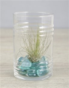 gifts: Argentea Air Plant in Blue Stone Ribbed Cylinder!
