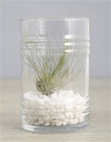 gifts: Argentea Air Plant In White Stone Ribbed Cylinder!