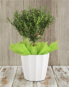flowers: Rosemary Plant in White Planter!