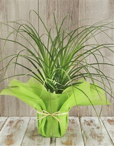 gifts: Ponytail Palm in Tissue Paper!