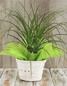 gifts: Ponytail Palm in Basket!