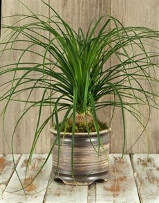 plants: Ponytail Palm in Ceramic Pot!