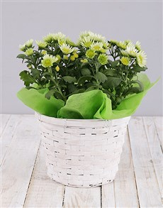 plants: Green Chrysanthemum Plant Basket!