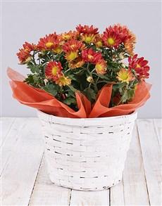 flowers: Orange Chrysanthemum Plant Basket!