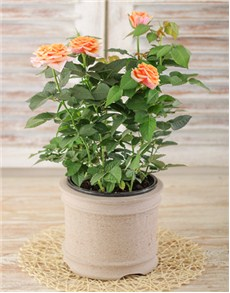 plants: Orange Potted Rose Bush!