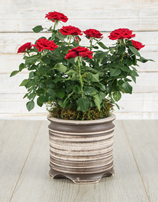 plants: Red Roses Bush in a Ceramic Pot!