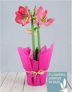 plants: Pink Amaryllis Plant!