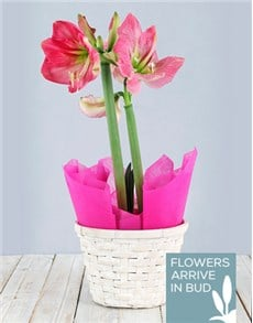plants: Pink Amaryllis Basket!