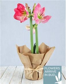 plants: Pink Amaryllis in Craft Paper!
