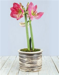 plants: Pink Amaryllis Pot!