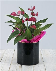 plants: Anthurium in Black Cylinder Vase!