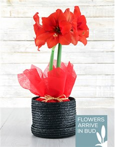 flowers: Red Amaryllis in Woven Hat Box!