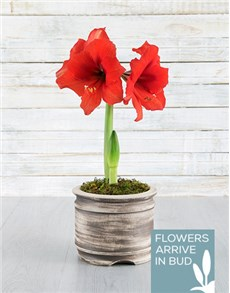 plants: Red Amaryllis Pot!
