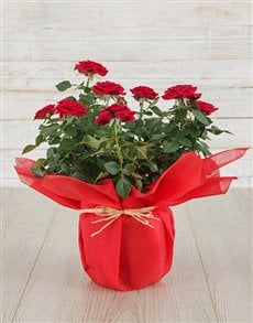 plants: Red Rose Bush in Tissue Paper !