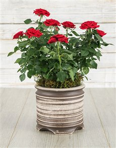 plants: Red Rose Bush in Ceramic Pot!