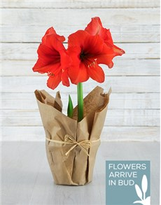 flowers: Red Amaryllis in Craft Paper!